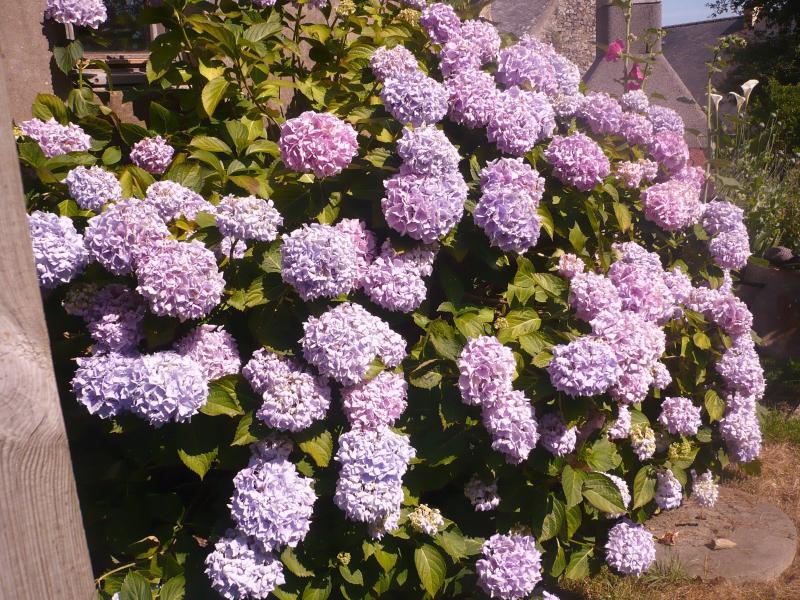 Les hortensias du jardin le blog de titanique - Quand tailler un hortensia ...
