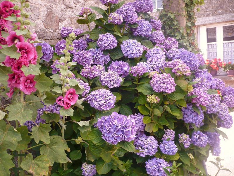 Les hortensias du jardin le blog de titanique - Comment bouturer un hortensia ...