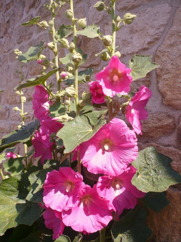 Les roses tr mi res de notre jardin le blog de titanique - Planter des roses tremieres ...