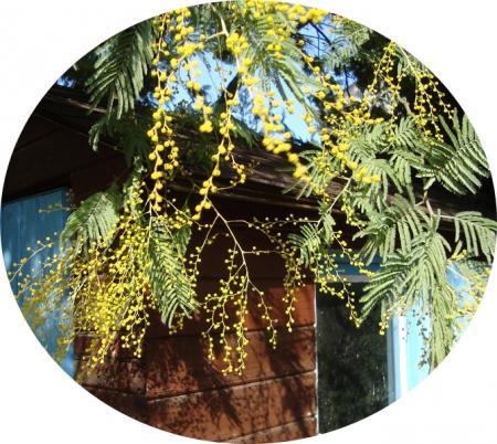 A propos du mimosa la guillaumette for A propos du jardin