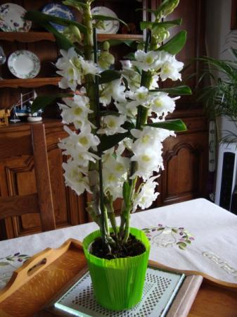 Orchid e star class dendrobium la guillaumette for Yuka plante exterieur